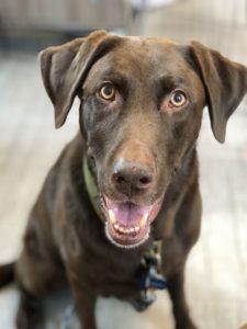 Lambeau, dog training assistant and KPA grad dog