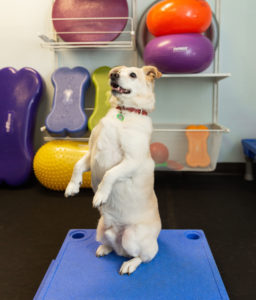 Canine fitness training at Uptown Pup